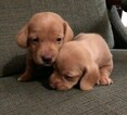 All Tan Miniature Dachshund Puppies