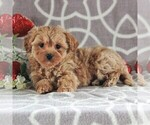 Small Photo #4 Cavachon-Poodle (Miniature) Mix Puppy For Sale in GORDONVILLE, PA, USA