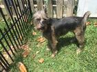 Cairn Terrier-Unknown Mix Dog For Adoption in Columbia, TN