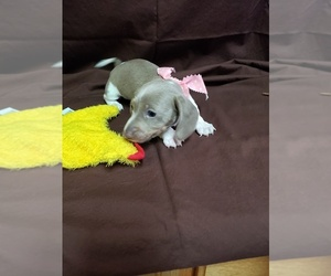 Dachshund Puppy for Sale in YORKTOWN, Texas USA