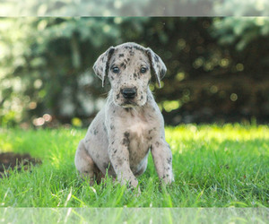 Great Dane Puppy for Sale in MILLERSBURG, Pennsylvania USA