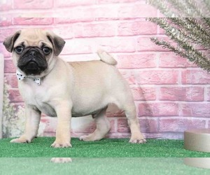 Pug Puppy for sale in BEL AIR, MD, USA