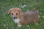 Pembroke Welsh Corgi Puppy For Sale in PORT CHARLOTTE, FL, USA