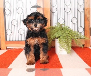 Poovanese Puppy for sale in NAPLES, FL, USA