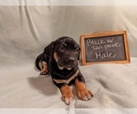 Puppy 2 Catahoula Leopard Dog