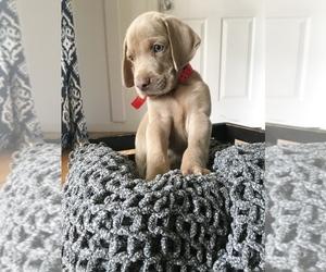 Weimaraner Puppy for sale in FITZGERALD, GA, USA
