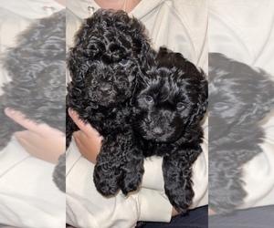 Havanese-Poodle (Standard) Mix Puppy for Sale in BATTLE GROUND, Washington USA