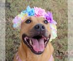 Small #54 American Pit Bull Terrier-Chinese Shar-Pei Mix