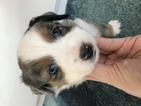 Miniature Australian Shepherd Puppy For Sale in YELM, Washington,