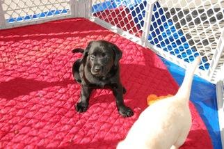 Labrador Retriever Puppy for sale in GIRDLETREE, MD, USA