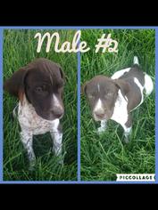 German Shorthaired Pointer Puppy For Sale in GALT, CA
