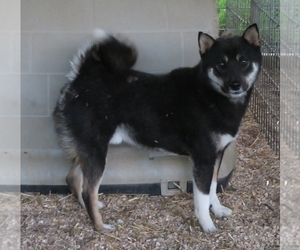 Father of the Shiba Inu puppies born on 10/15/2020