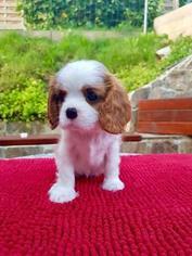 Cavalier King Charles Spaniel Puppy for sale in Ljubljana, Ljubljana, Slovenia