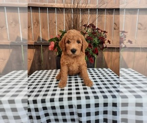 Goldendoodle Puppy for Sale in SHIPSHEWANA, Indiana USA