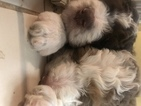 Aussiedoodle Puppy For Sale in BELLEVUE, NE, USA
