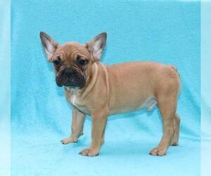 French Bulldog Puppy for Sale in KLEIN, Texas USA