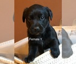 Labrador Retriever Puppy For Sale in MONROE, GA, USA