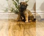 Puppy 5 Malinois