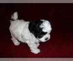 Puppy 6 ShihPoo