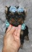 HANDSOME TINY TOY MALE YORKIE