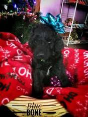 Labradoodle Puppy For Sale in DES MOINES, IA, USA