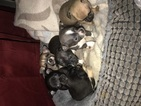 Chihuahua Puppy For Sale in MEMPHIS, TN,
