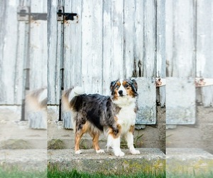 Miniature American Shepherd Puppy for sale in OSCO, IL, USA