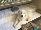 Great Pyrenees Puppy For Sale near 92028, Fallbrook, CA, USA