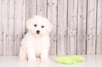 Bichon Frise Puppy For Sale in MOUNT VERNON, OH