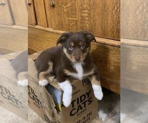 Miniature Australian Shepherd Puppy for sale in OMAHA, NE, USA