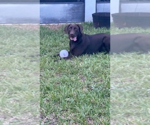 Labrador Retriever Puppy for sale in TAVARES, FL, USA