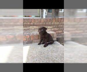 Labrador Retriever Puppy for Sale in JASPER, Georgia USA