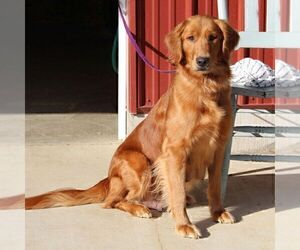 Mother of the Golden Retriever puppies born on 12/01/2020