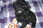 Maltese-Poodle (Toy) Mix Puppy For Sale in TUCSON, AZ