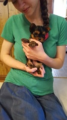 Yorkshire Terrier Puppy For Sale in BLOWING ROCK, NC