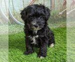 Small Maltipoo-Poodle (Miniature) Mix