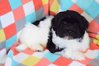 Havanese Puppy For Sale in COLEMAN, TX