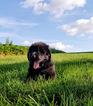 Newfoundland Puppy For Sale in MILLERSBURG, OH,
