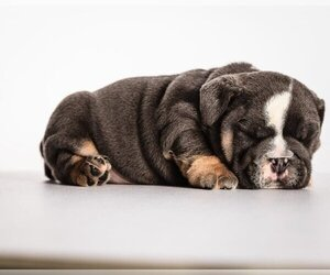 Bulldog Puppy for sale in REDWOOD CITY, CA, USA
