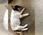 Small #8 Australian Cattle Dog
