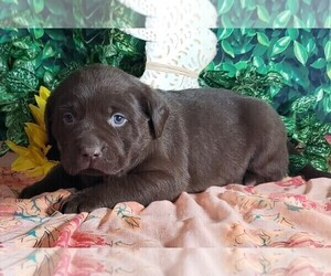 Labrador Retriever Puppy for sale in GRABILL, IN, USA