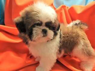 Shih Tzu Puppy For Sale in HAMMOND, IN