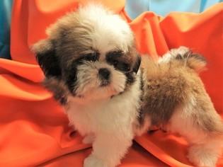 Shih Tzu Puppy For Sale in HAMMOND, IN