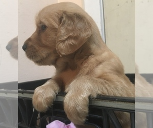 Golden Retriever Puppy for sale in SANTA ANA, CA, USA