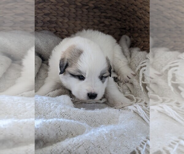 Medium Photo #46 Great Pyrenees Puppy For Sale in FALCON, CO, USA