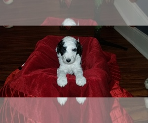 F2 Aussiedoodle Puppy for Sale in UNION GROVE, Alabama USA