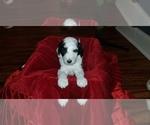 Puppy 1 F2 Aussiedoodle