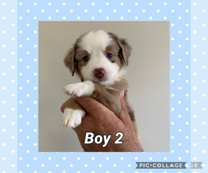 Miniature Australian Shepherd Puppy for Sale in ELKTON, Kentucky USA
