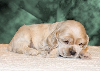 Cocker Spaniel Puppy for sale in TERRY, MS, USA