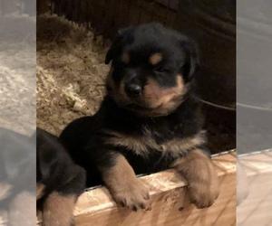 Rottweiler Puppy for sale in VONORE, TN, USA
